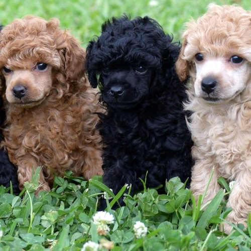 Tiny toy poodle texas